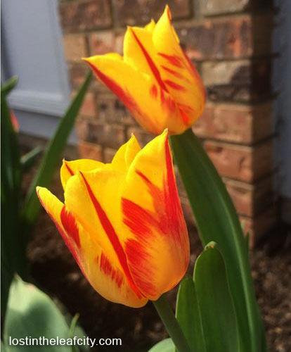 Tulip Fire in a Canadian Soil