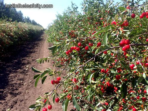 Cherries at Saskatoon Farm