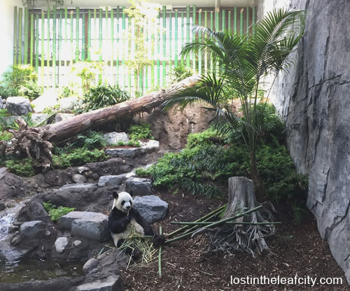 Giant Pandas at Calgary Zoo