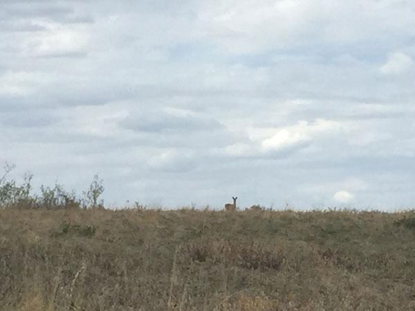 Deer at Rocky Ridge, Calgary